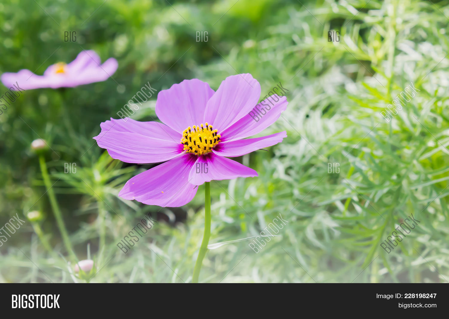 Lovely Single Pink Image Photo Free Trial Bigstock