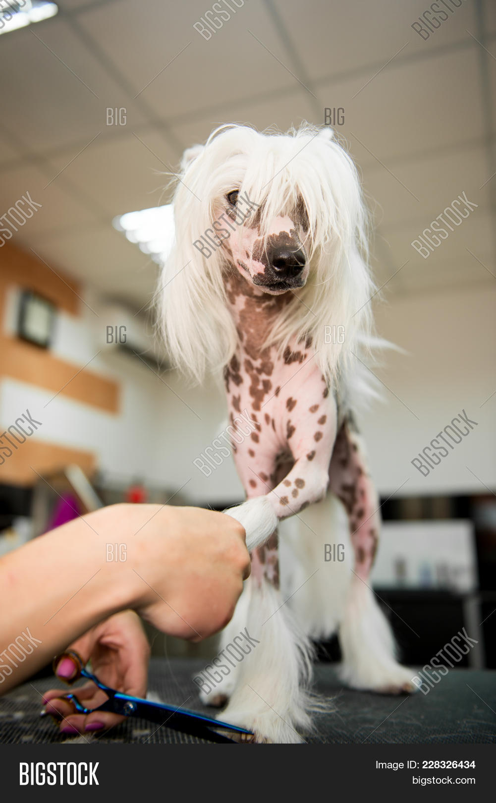 Breed Dog Grooming Chinese Crested Image Photo Bigstock