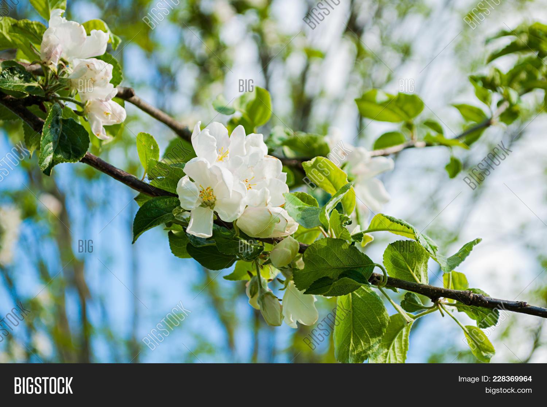 Spring Apple Tree Image Photo Free Trial Bigstock