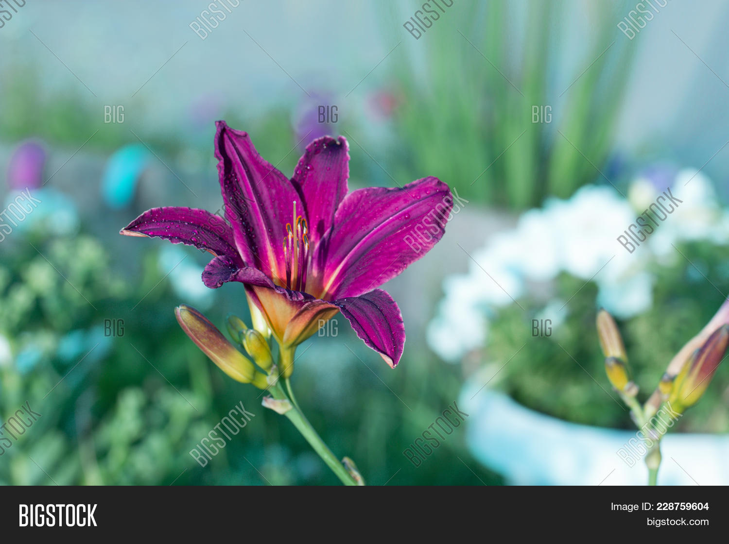 Royal Lily Bloomed Image Photo Free Trial Bigstock