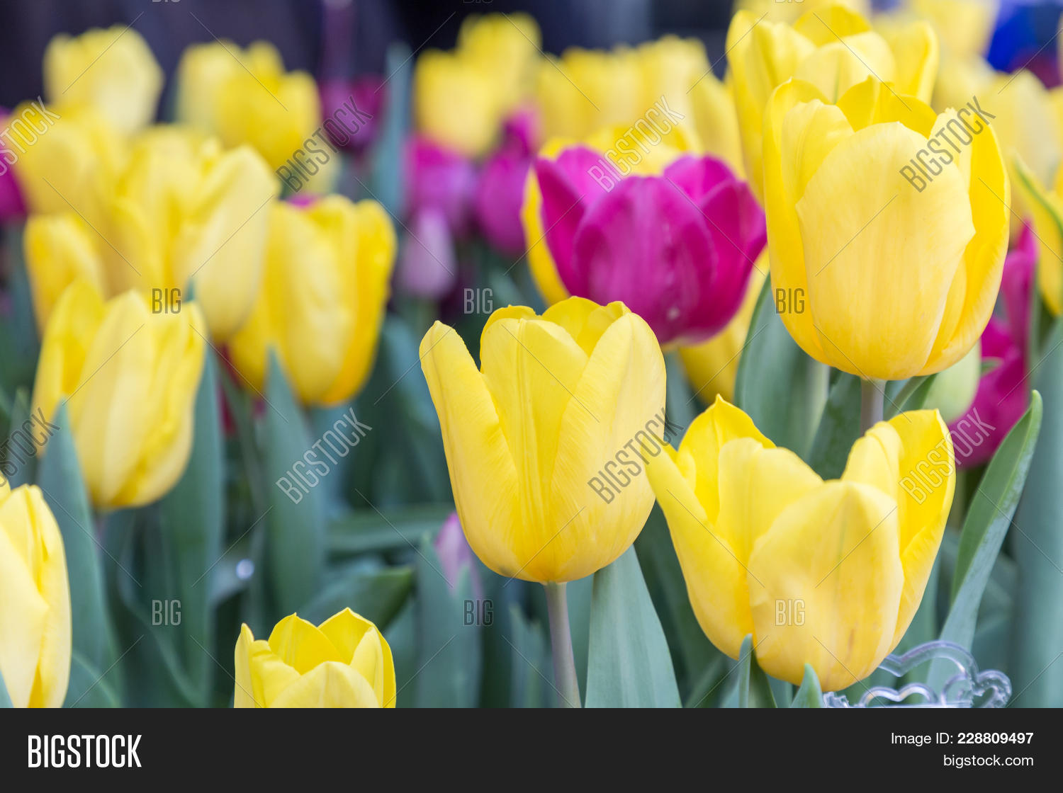 Tulip flower beautiful tulips image photo bigstock tulip flower beautiful tulips flower in tulip field at winter or spring day colorful izmirmasajfo
