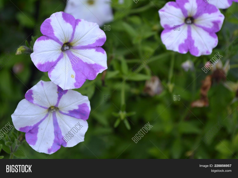 Petunia. Stimoryne. Image & Photo (Free Trial) | Bigstock