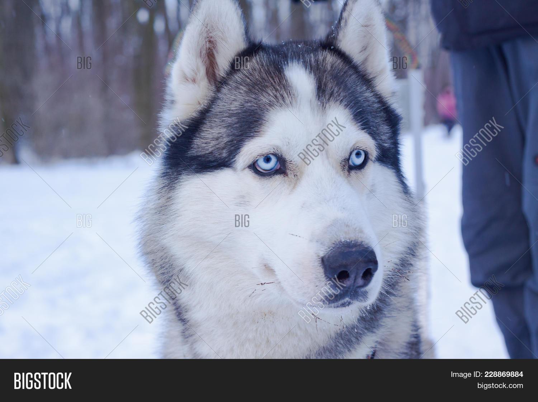 Sledge Dogs Snow Race Image Photo Free Trial Bigstock
