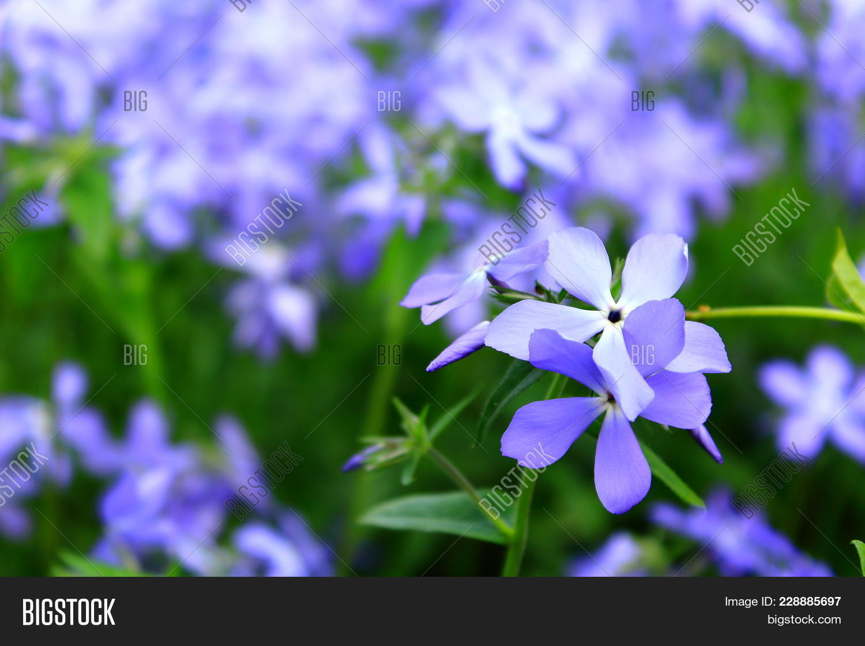 First spring flowers image photo free trial bigstock first spring flowers blossom violet and blue fhlox violet night viola odorata mightylinksfo