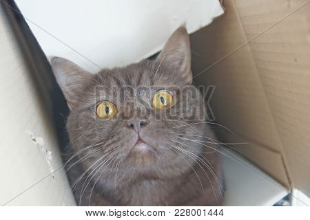 Brown Chocolate Scotty Straight Cat Climbed Into A Narrow Cardboard Box And Peeks Out Of It