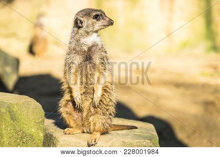 Alert Meerkat , Suricata Suricatta , Standing On Guard