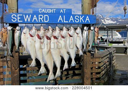 Halibuts Caught At Seward Alaska Were Hook For Weighing And Showing In Seward, Alaska, Usa