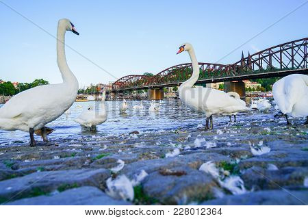 White Swan Standing Proud On West Side Of Vltava River With Blurry Background Near Old Steel Arch Ra