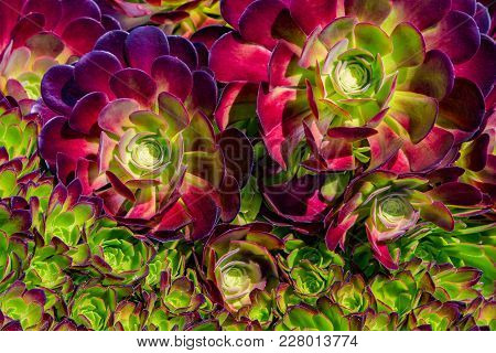 Large And Small Succulent Plant On Sunny Day, Top View. Houseleek Plant Background. Sempervivum Tect