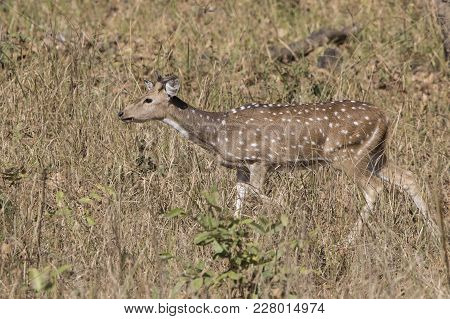 Male Axis With Just Begun To Grow Horns Which Goes In The Tall Grass Along A Small Forest Glade