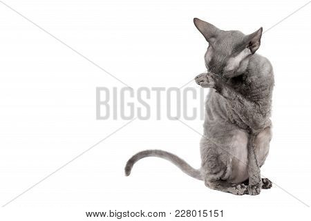 Oriental Shorthair Cat Sittingand Washing Oneself, Gray Animal Pet, Domestic Kitty, Purebred Cornish