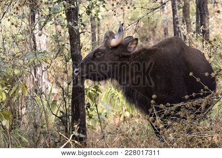 Young Male Gaur Or Indian Bison Who Grazes In The Woods On A Winter Sunny Day