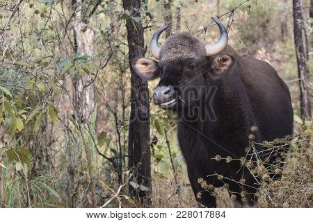 Young Male Gaur Or Indian Bison Who Stands Among The Trees In The Forest On A Winter Sunny Day