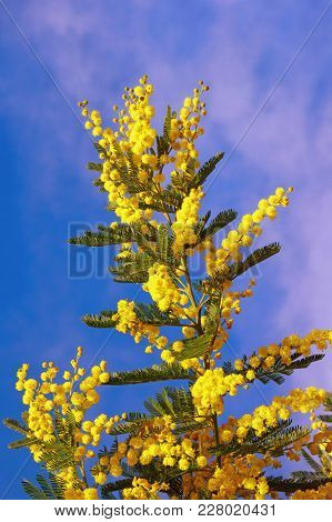 Springtime. Yellow Flowers Of Acacia Dealbata (mimosa) Against  Blue Sky