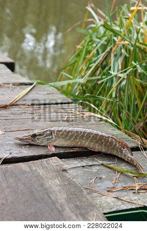 Freshwater Pike Fish On Vintage Wooden Background.