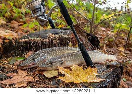 Freshwater Northern Pike Fish Know As Esox Lucius Lying On A Wooden Hemp And Fishing Equipment. Fish