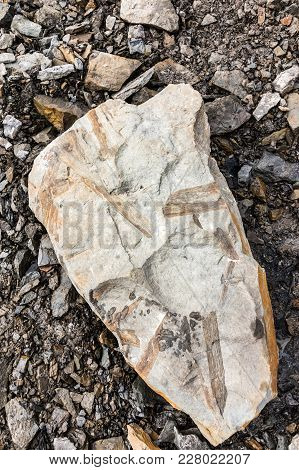 Flora Fossil Leaves On A Rock, Longyear Glacier Moraine In Svalbard, Norway.