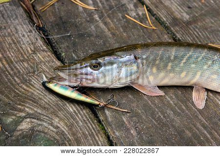 Close Up View Of Big Freshwater Pike With Fishing Bait In Mouth Lies On Vintage Wooden Background..