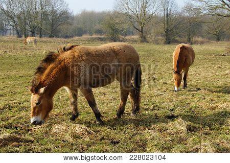 Two Brown Przewalski Horses In A Field.