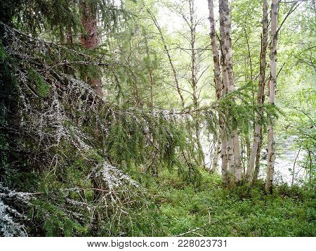 A Few Birchs And Old Fir-tree Grow On A Green Lawn On The Riverside