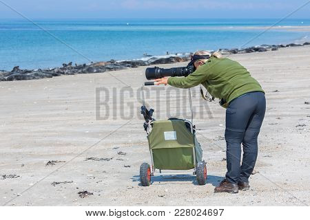 Helgoland, Germany - May 20, 2017: Woman Taking Pictures Of Seals At Beach Of Dune Near German Islan