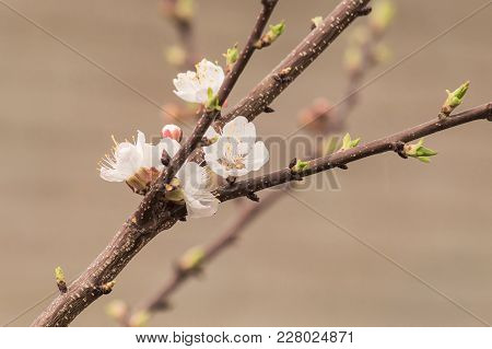 A Branch Of An Apple Tree In Spring With Green Buds, And Blooming Flowers, On A Blurry Background