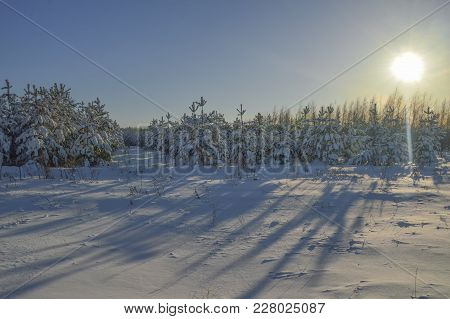 Young Pine Trees After Snowfall, Covered With Snow, In The Backlight Of The Day Sun