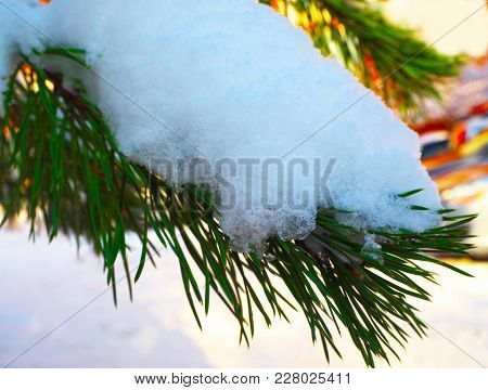 Pine Tree Covered With Hoar Frost And Snow, Close-up
