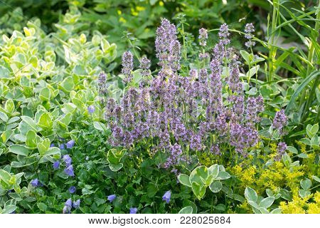 Flowering Thyme In Garden Among Another Plants
