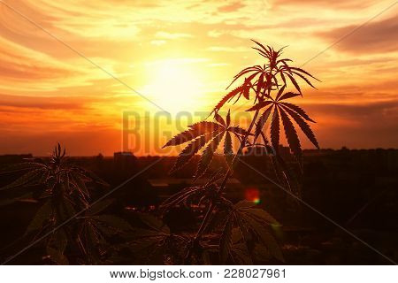 Growing Marijuana, Cannabis Grows, Horizontal Photograph Against Sky With Rays Of Outgoing Sun. Hemp