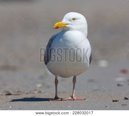 Herring Gull At Beach Of German Island Dune Near Helgoland In The Northsea