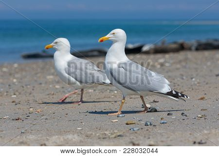 Herring Gulls At Beach Of German Island Dune Near Helgoland In The Northsea