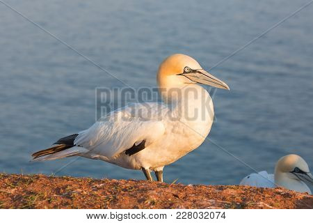 Northern Gannet Morus Bassanus In Sunset At The Island Helgoland, Germany