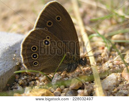 Light Brown In Round Spots Butterfly-aphantopus Hyperantus - Sitting On The Sand