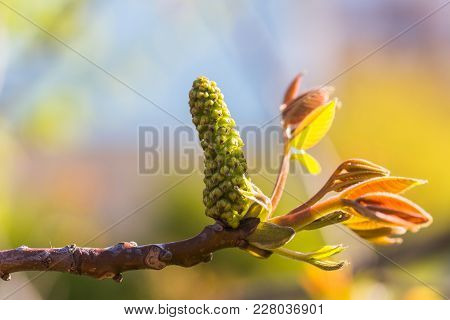 Walnut Blooms. Walnuts Young Leaves And Inflorescence On A City Background. Flower Of Walnut On The