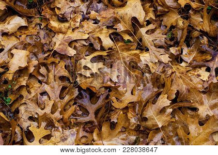 Close Up With Pile Of Dead Oak Leaves, Fall Background