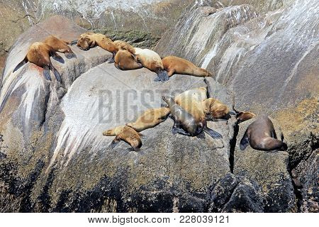 Steller Sea Lions, Latin Name Eumetopias Jubatus, On An Island In Kenai Fjords National Park In Alas