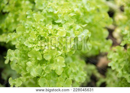 Fresh Lettuce Leaves, Close Up.salad Leaf. Lettuce Salad Plant, Hydroponic Vegetable Leaves.