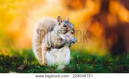 Beautiful Squirrel On Yellow Background And Green Grass. Amazing Squirrel In The Fall Landscape Pose