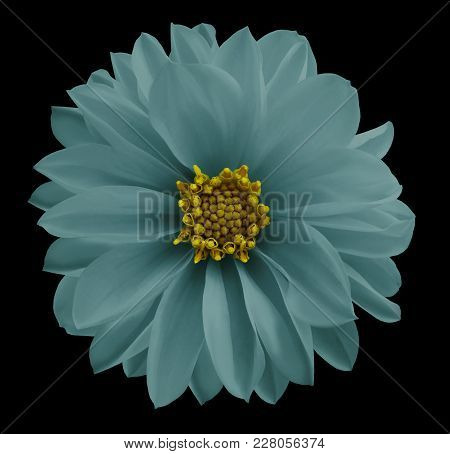 Dahlia Light Turquoise Flower  On The Black Isolated Background With Clipping Path.  Closeup No Shad