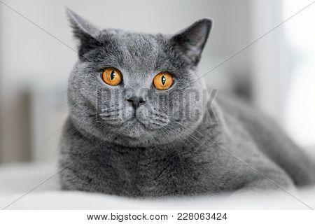 Cute grey cat laying on the sofa. British shorthair cat. Domestic animal.