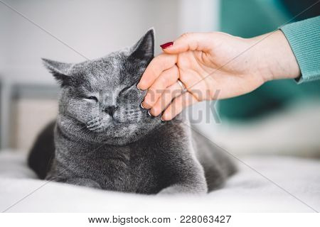 Grey cat with his eyes closed, stroked by woman's hand. Domestic life. British shorthair cat.