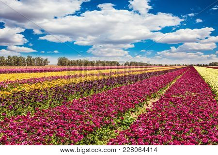 Wonderful warm May day. Flowers are planted with stripes of different colors. Cumulus clouds fly over field of flowering garden buttercups. Concept of rural and ecological tourism