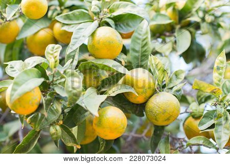 Mandarin tree with ripe fruits. Mandarin orange tree. Tangerine. Branch with fresh ripe tangerines and leaves image. Satsuma tree picture, soft focus.
