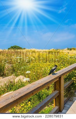 Hot spring sun illuminates a flowering meadow. On the wooden railing of wooden pedestrian road sits a gray crow. The park of Caesarea, Israel. Concept of ecological and historical tourism