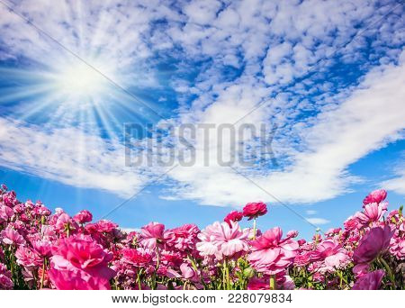 Adorable pink garden buttercups - ranunculus bloom on a farm field. Windy day in May. The sun shines through the flying cirrus clouds. Concept of ecological and rural tourism