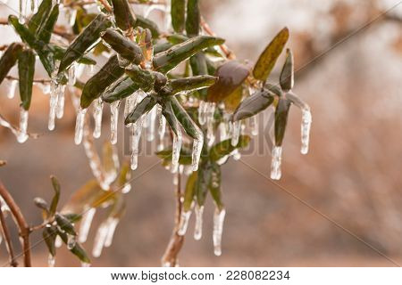 Japanese Honeysuckle in winter, covered in a layer of ice after an ice storm