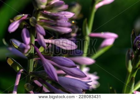 A Flower Hosta Growing In A Summer Garden.
