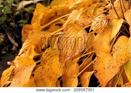 Leaves Hosta Growing In A Summer Garden.