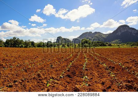 Young Tobacco Plantation In The Vinales Valley In Cuba